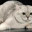 Кошки породы страйт