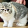 Популярная порода котов