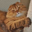 Порода кошек хайленд